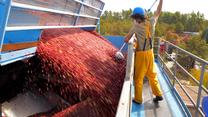 How Ocean Spray harvests 100 billion cranberries in just six weeks