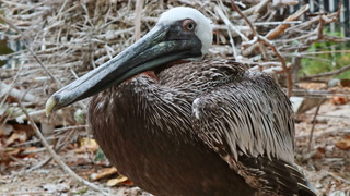 Meet the Same-Sex Pelican Couple Living at Pelican Harbor Seabird Station