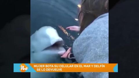 Delfín sorprende al devolver celular que turista había perdido en el mar