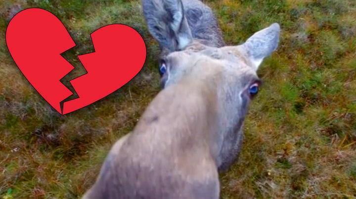 Her skjønner elgen at hans store kjærlighet er en drone