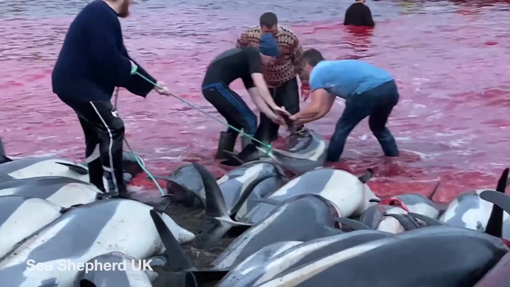 1,500 dolphins mass slaughtered in largest single cull on Faroe Islands