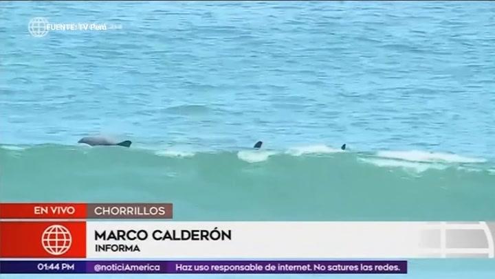 Chorrillos: aparecen delfines en el mar de la playa La Herradura
