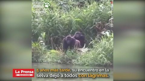Sorprendente reencuentro entre gorila y hombre se vuelve viral