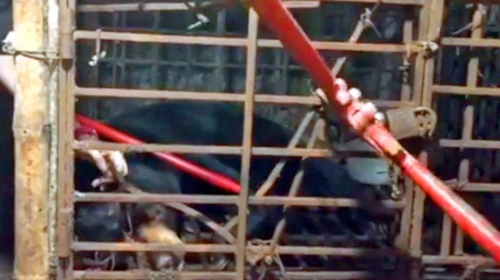 Reddet bjørn etter syv år i fangenskap