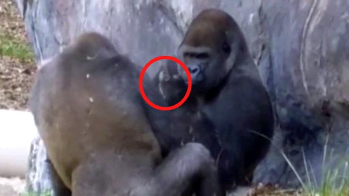 Gorilla er drittlei mobbingen