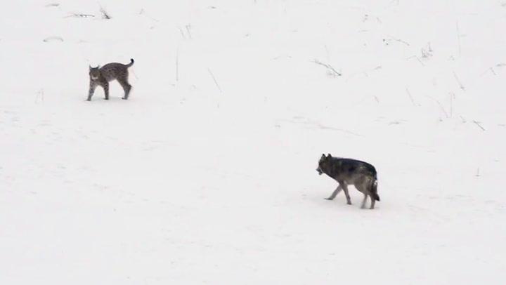 Uhyre sjeldent møte i de polske skoger