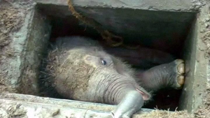 Elefantunge i desperat knipe