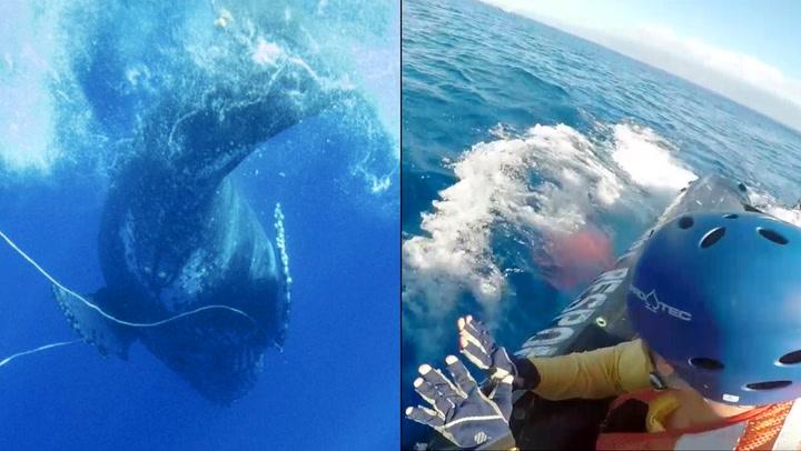 Her befrir de hvalen fra tau-marerittet