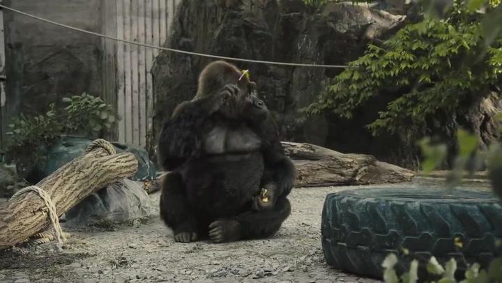 Un gorila escuchando a Queen: el vídeo que conmueve las redes sociales