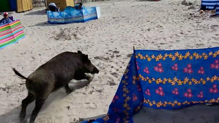 Villsvin skapte kaos på badestrand