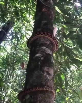 ¡Impresionante! Así suben las serpientes a los árboles