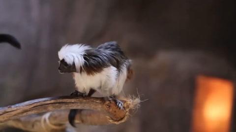 Nace en México simio Tamarin a seis meses del traslado de sus padres