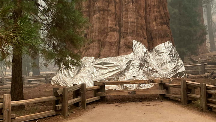 Firefighters wrapping legendary sequoia trees in foil as wildfires approach