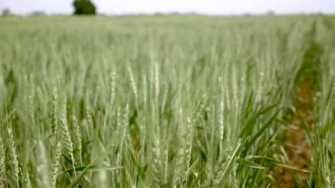 Ambientalistas y mercados miran con recelo el trigo transgénico de Argentina
