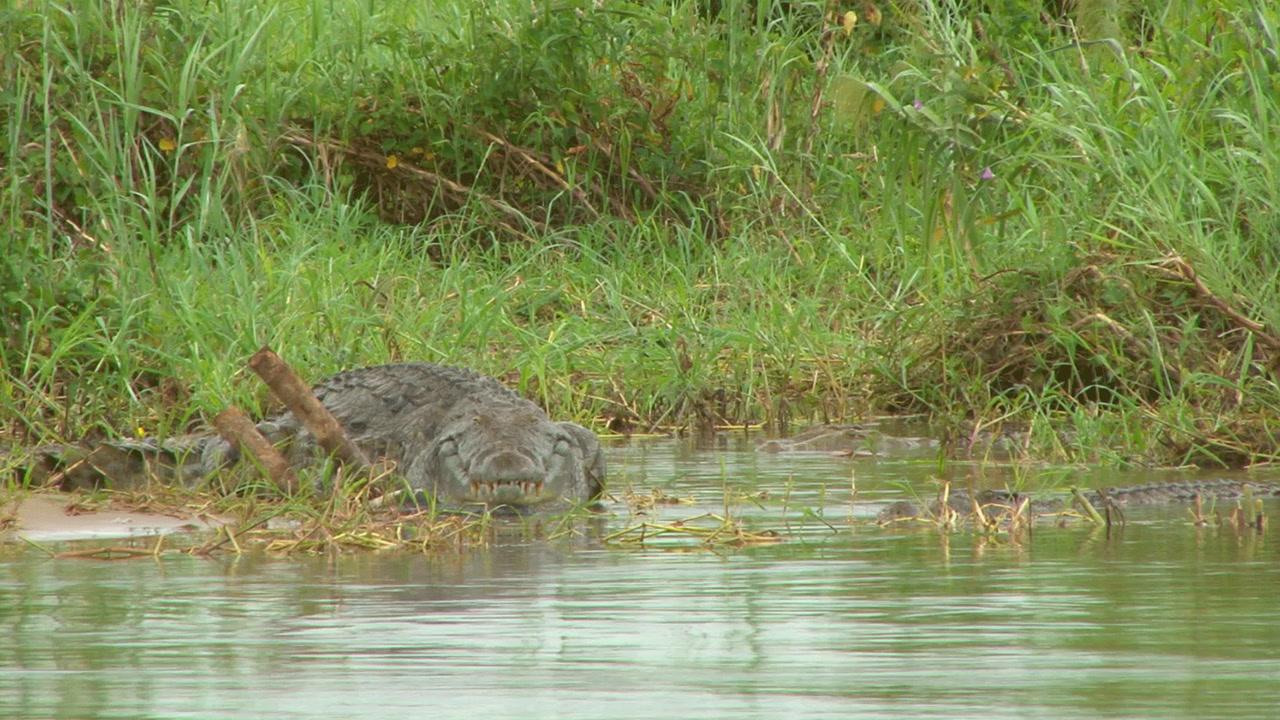 Monster Zambezi River Crocodile