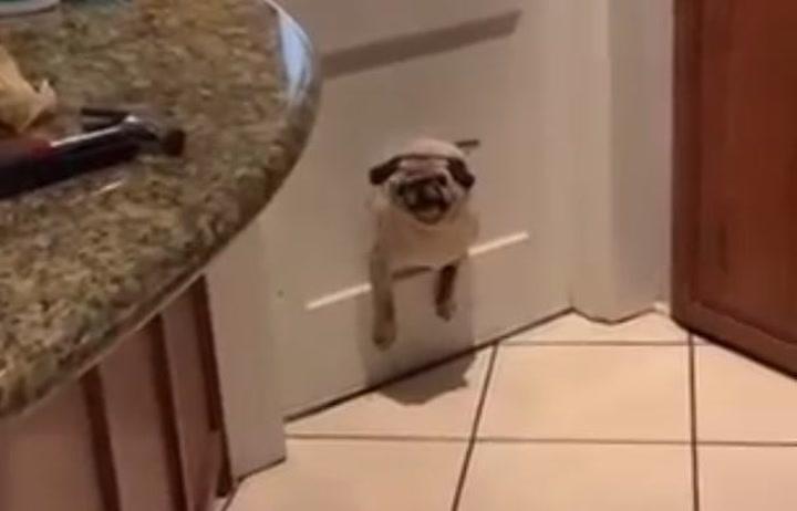 ¡Da hasta pena! Un perrito se queda atrapado en una puerta para gatos