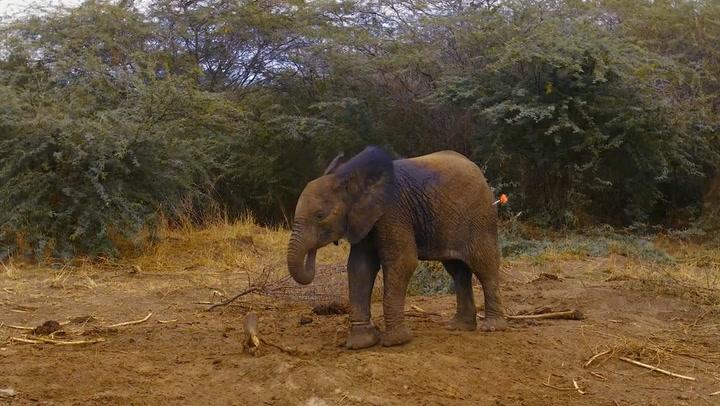 Vets cut elephant calf free from cruel poachers' snare in Kenya