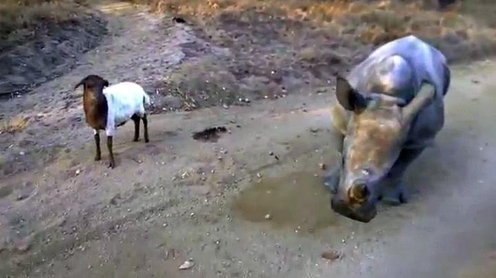 Neshorn og geit er bestevenner