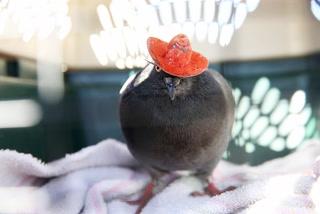 Pigeon Caught SOCIAL