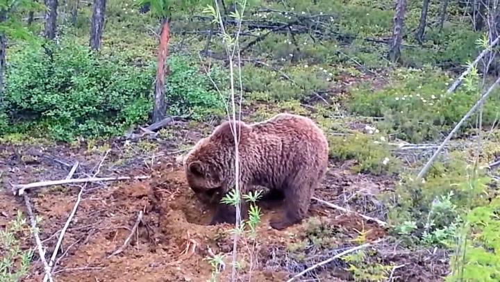 Lurte døden da sulten bjørn var på jakt