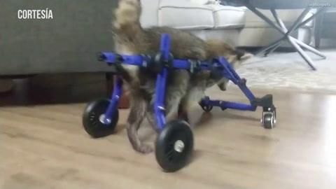 Cachorra de mapache camina con ayuda de una silla de ruedas