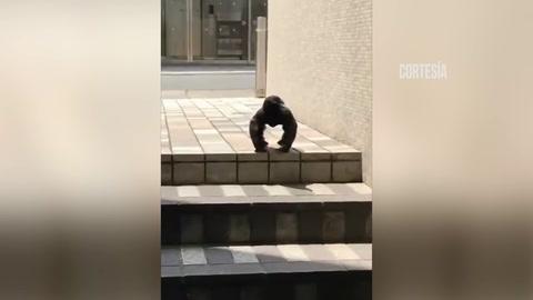El misterio del aterrador cuervo mega músculo