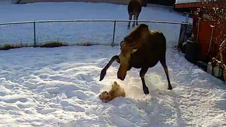 Hunden Daisy fikk brutalt møte med rasende elgku