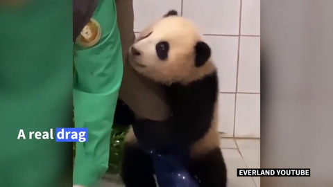 Video de un bebé panda aferrándose a su cuidador causa ternura en redes