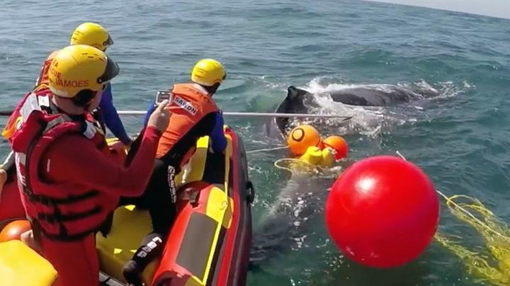 Reddet to hvaler fra fiskenett
