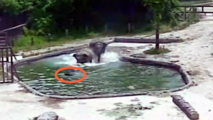 Elefantungen faller i vannet - familien reagerer umiddelbart