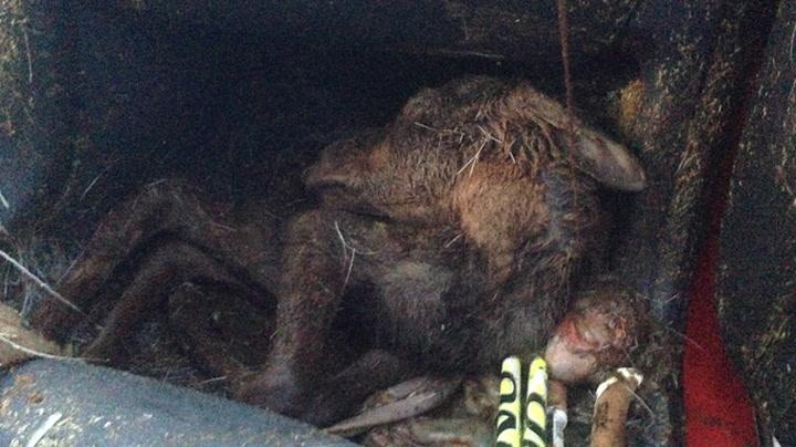 Krasjet med elg - fant elgkalv i førerersetet