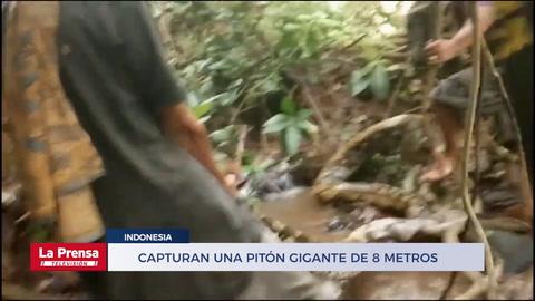 Habitantes de un pueblo indonesio capturan una pitón gigante de 8 metros
