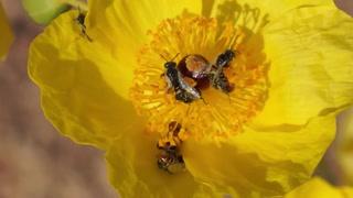 Mojave Poppy Bees