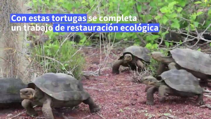 Liberan tortugas gigantes en las islas Galápagos