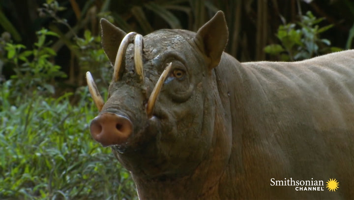 this wild pig has fangs that can pierce its own skull smithsonian