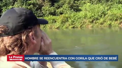 Hombre se reencuentra con gorila que crió de bebé y su reacción emociona