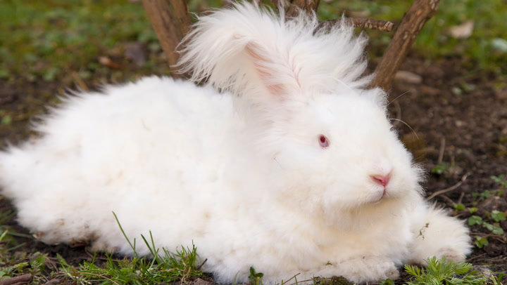 Click Play to See the 5 Popular Breeds of Angora Rabbit