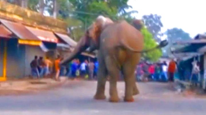 Vill elefant skremte vettet av landsby