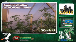 Cannabis Hotline - #203 What Is the Best Light For Growing Cannabis Marijuana Weed LEDs HID CFL CMH T5