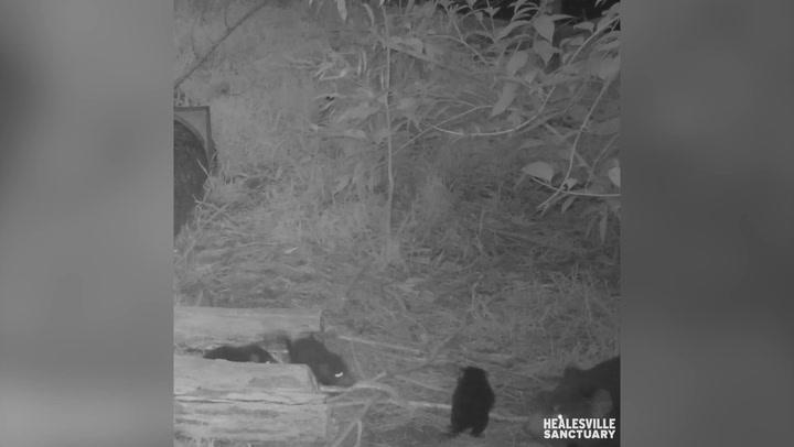 Tasmanian Devil rounds up playful joeys and gives them 'piggy-back' ride