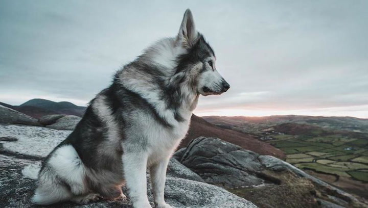Fallece Odin, el lobo huargo de Bran Stark en Juego de Tronos