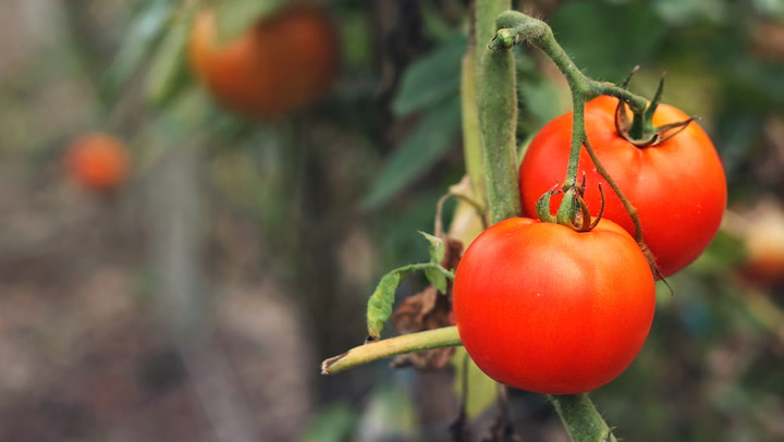 10 Tips For Growing Great Tomatoes