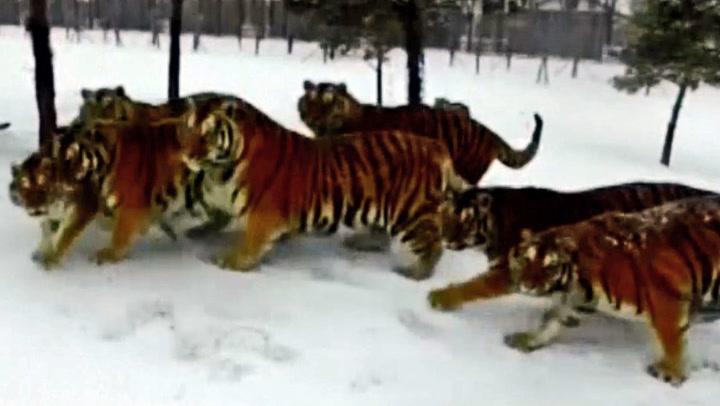 Alle tigrene er ute etter samme bytte