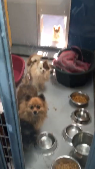 164 Pomeranians rescued from truck in Sandy Valley