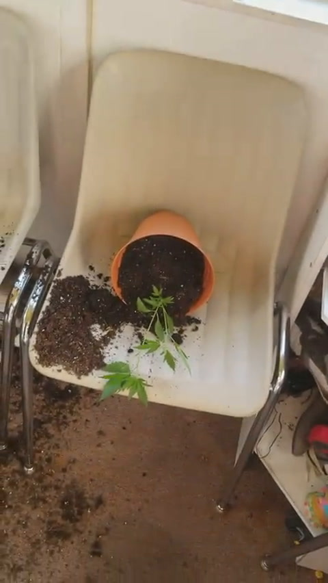 Se comieron las plantas de marihuana y así quedaron