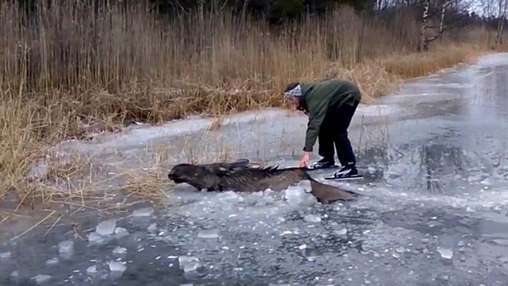 Sigrid og Viktor reddet elg i livsfare