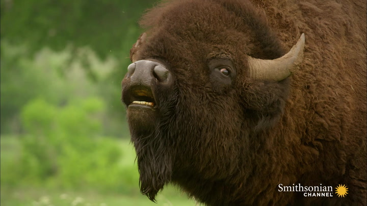 As the American Buffalo Declined, Its Symbolism Rose