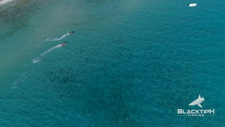Un dron capta una cacería de tiburones martillo a tiburones de puntas negras