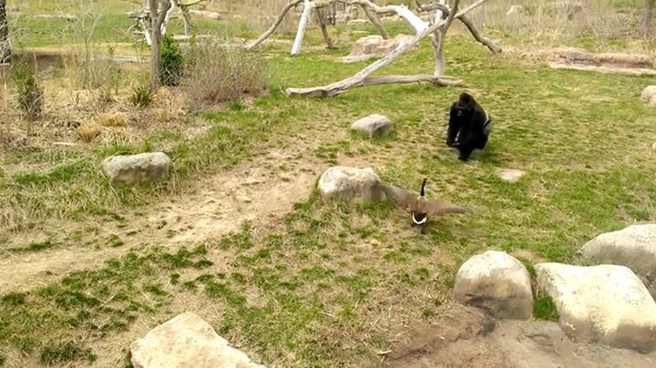 Gorilla får seg en overraskelse