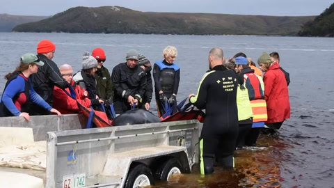 El tiempo se acaba para ballenas varadas en Tasmania